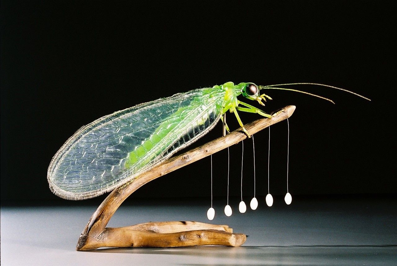 "Gemeine Florfliege_Hanne Moschkowitz_copyright ""www.insektenmodelle.de"""