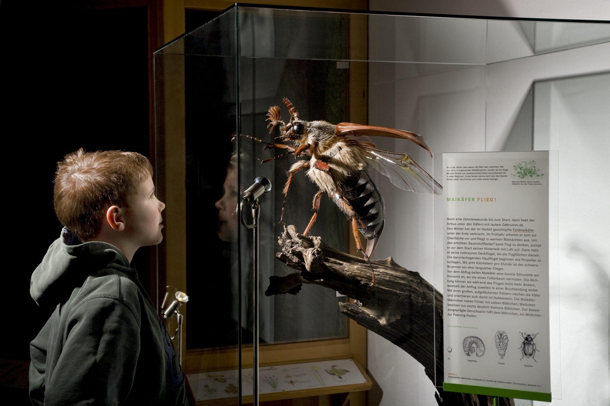 """Junge mit Maikäfer_Hanne Moschkowitz_copyright """"www.insektenmodelle.de"""""""